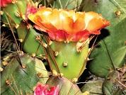 El género Cumulopuntia (Cactaceae, Opuntioideae) en el Departamento de Arequipa, Perú
