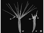 Stevia mandonii (Asteraceae, Eupatorieae): Primer registro para la flora argentina y lectotipificación