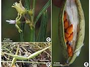 El género Oxypetalum (Apocynaceae) en Uruguay, nueva especie y clave de identificación
