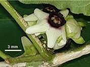 Dos nuevas especies de Ibatia (Apocynaceae) de Argentina
