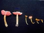 Nuevos registros de hongos Agaricales (Basidiomycota) para las Yungas bolivianas