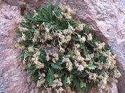 Valeriana corynodes (Caprifoliaceae), nueva especie para la Flora de Chile