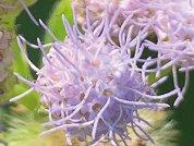 Praxelis Clematidea (Asteraceae, Eupatorieae, Praxelinae) in Uruguay